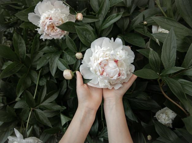 Ręce dzieci trzymają biały kwiat piwonii rosnący na krzaku.