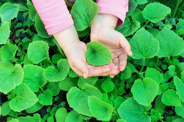 Ręce dzieci trzymają krzak sadzonki melona. sadzenie sadzonek w ziemi.