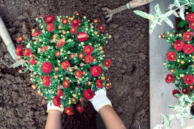 Ręce dziewczyny sadzącej krzak czerwonej chryzantemy do łóżka ogrodowego wiosną lub latem na zewnątrz.