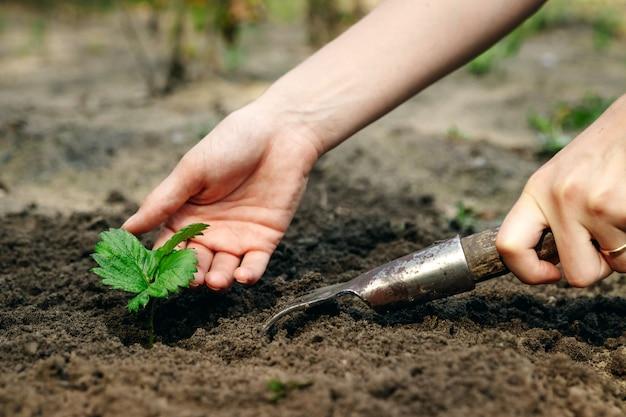 Ręce kobiet wkładają kiełki do gleby