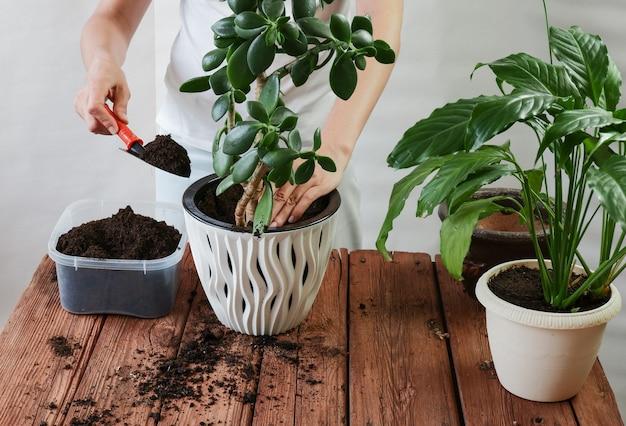 Ręce kobiety przesadzają roślinę a do nowej doniczki spathiphyllum crassula perfoliata