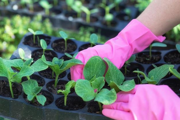 Ręce kobiety w gumowych rękawicach roboczych sadzą sadzonki w ziemi. sadzenie sadzonek cukinii, dyni lub arbuza.
