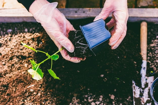 Ręce kobiety w rękawiczkach przesadzają sadzonki ogórka z doniczki do ziemi w plastrze