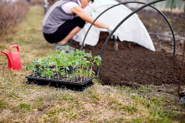 Ręce kobiety w rękawiczkach sadzenie sadzonki pomidorów w ziemi