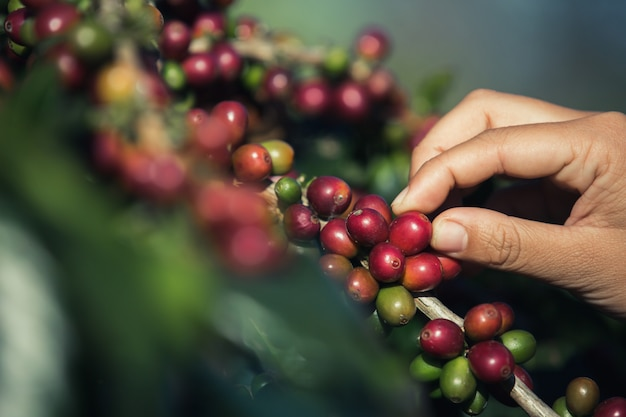 Ręce, które zbierają ziarna kawy z drzewa kawowego