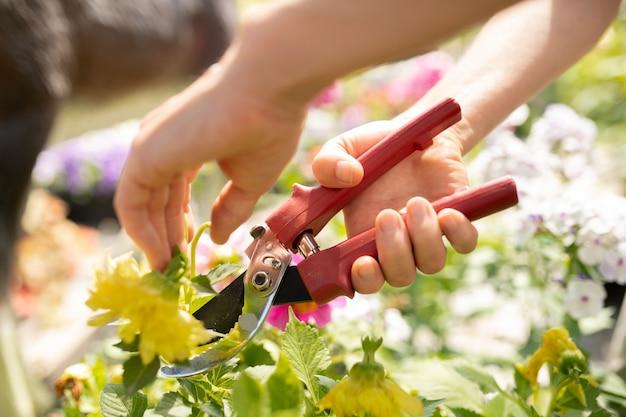 Ręce młodego rolnika cięcia zielonych liści roślin ogrodowych sekatorami podczas pracy w szklarni