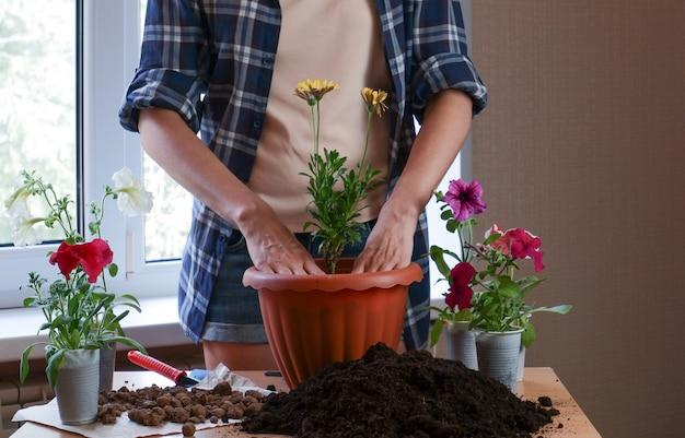 Ręce ogrodniczki w kraciastej koszuli sadzą kwiaty w doniczce