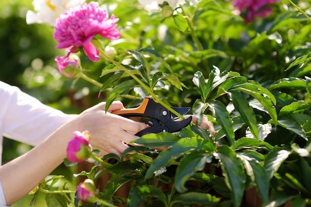 Ręce ogrodniczki w średnim wieku. kobieta pracuje z secateur w domowym ogródzie przy letnim dniem.