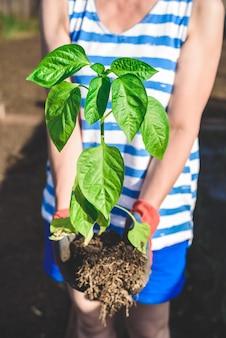 Ręce ogrodnika trzymające sadzonkę papryki
