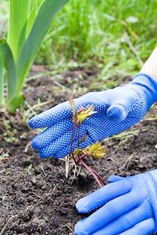 Ręce ogrodnika zajmują się sadzeniem piwonii. koncepcja wiosennego ogrodnictwa