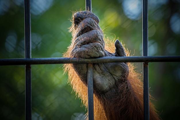 Ręce orangutana.