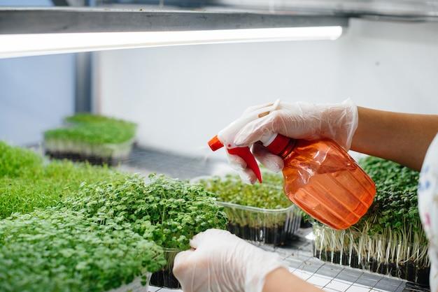 Ręce podlewania mikro zielone kiełki z bliska w nowoczesnej szklarni