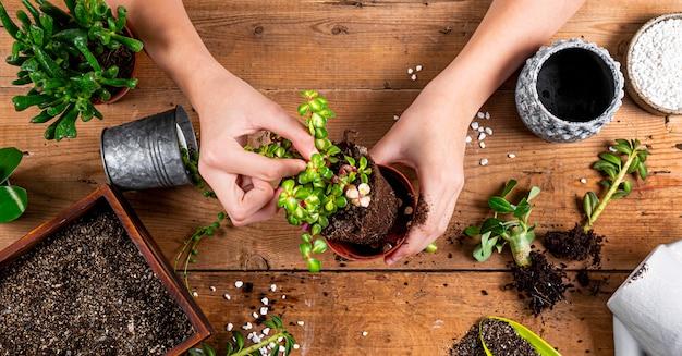 Ręce przesadzają rośliny domowe do doniczek, widok z góry. baner koncepcja opieki soczyste dla witryny sieci web. zdjęcie wysokiej jakości