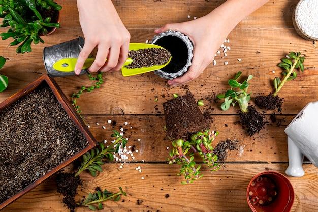 Ręce przesadzają rośliny domowe do doniczek, widok z góry. koncepcja opieki soczyste. zdjęcie wysokiej jakości