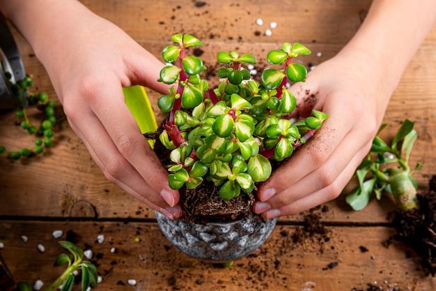 Ręce przesadzają rośliny domowe do doniczek, z bliska. koncepcja opieki soczyste. zdjęcie wysokiej jakości