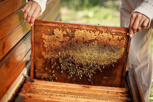 Ręce pszczelarza wyciągają z ula drewnianą ramę o strukturze plastra miodu.