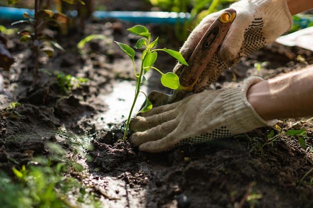 Ręce rolnika opiekują się i chronią młode małe kiełki w ziemi glebowej