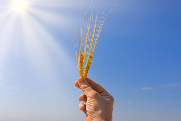 Ręce rolnika trzyma dojrzałą pszenicę. ręka mężczyzny trzyma dwa kłosy pszenicy na tle błękitnego nieba. ręce człowieka z pszenicy na tle błękitnego nieba.