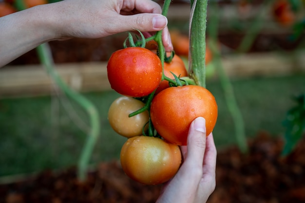 Ręce rolników ze świeżo zebranych pomidorów.