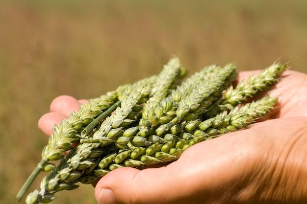 Ręce trzyma kłosy pszenicy