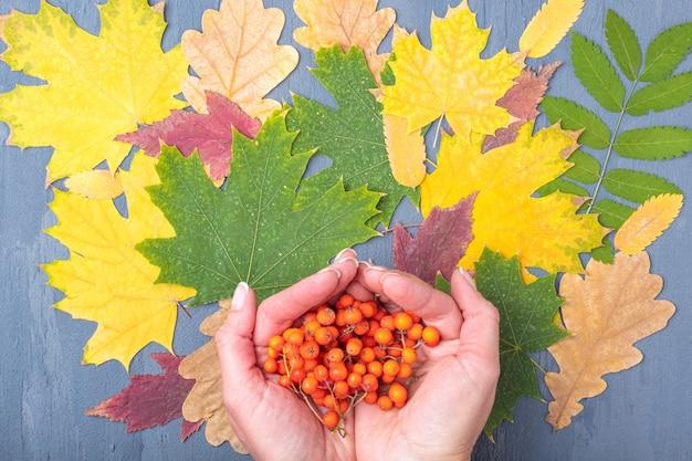 Ręce trzymają dojrzałe pomarańczowe jagody jarzębiny na tle jesieni opadłych suchych kolorowych liści. jesienna koncepcja naturalnego tła.