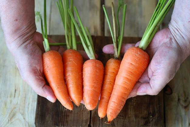 Ręce trzymają marchewki świeże marchewki z ogrodu