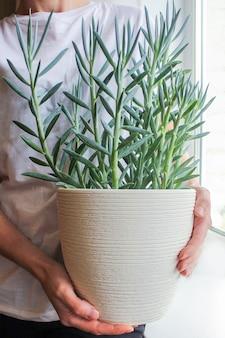 Ręce trzymające soczyste senecio w dużym białym garnku w oknie. hodowla kwiatów w domu, hobby