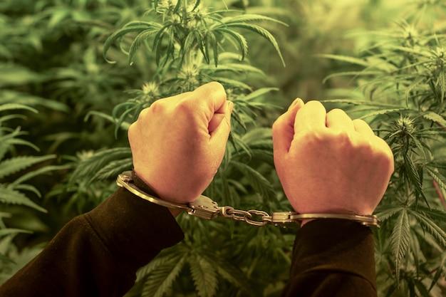 Ręce w metalowych kajdankach na tle roślin marihuany w świetle lamp.