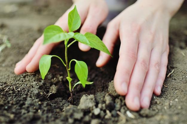 Ręce z bliska zasadzić młode zielone kiełki lub sadzonki w glebie.