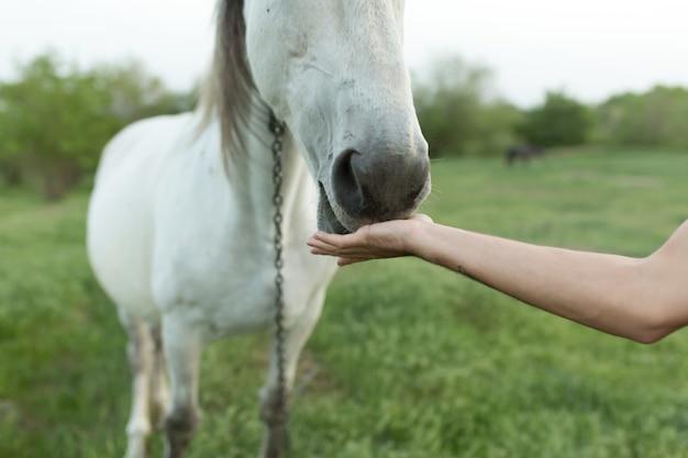 Ręczne karmienie białego konia. zbliżenie nosa konia.