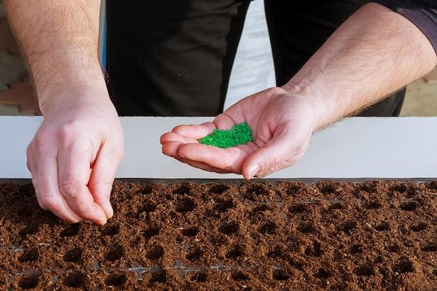 Ręczne wysiewanie nasion pieprzu przez ogrodnika w ziemi.