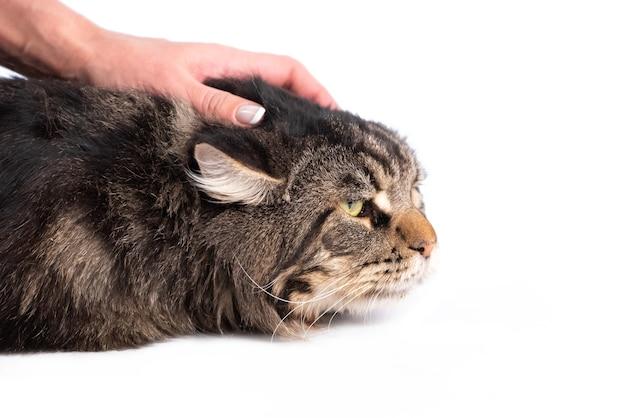 Ręcznie głaszcząc puszyste paski kotów głowy na białym tle