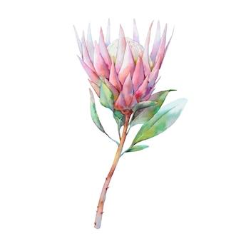 Ręcznie malowany obiekt kwiatowy. akwarela botaniczna ilustracja kwiat protea. naturalnego elementu zakończenie up odizolowywający na białym tle