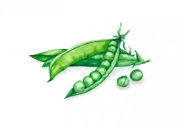 Ręcznie rysowane akwarela ilustracja świeżego zielonego groszku w łusce. wegetariański produkt spożywczy