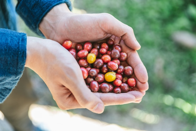 Ręcznie zbierane dojrzałe czerwone kawy arabica jagody w rękach w wiosce akha