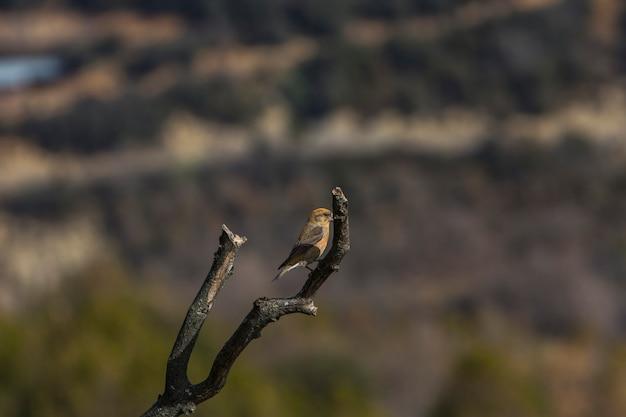 Red crossbill w ordesa i parku narodowym monte perdido, pireneje, hiszpania