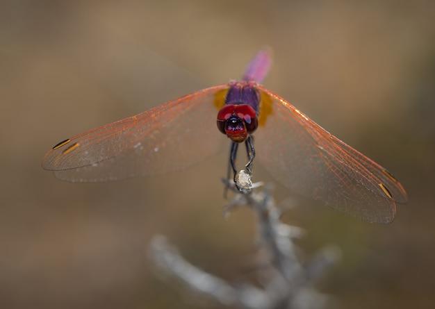 Red dragonfly sfotografowany w ich naturalnym środowisku.