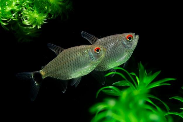 Red eye tetra ryba wyizolowana na czarnym tle roślin wodnych