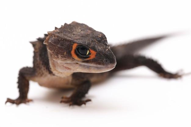 Red-eyed crocodile skinks jaszczurka na białej przestrzeni