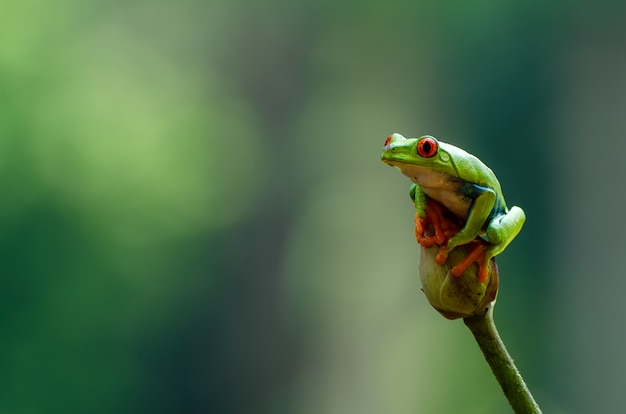 Red eyed tree frog siedzący na kwiatach lotosu