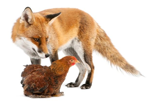 Red fox bawi się z kurą