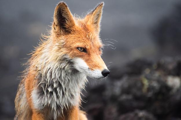 Red fox na skraju lasu / red fox / red fox (vulpes vulpes)