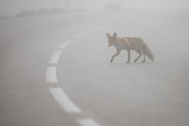 Red fox przejście przez drogę asfaltową z linią środkową we mgle