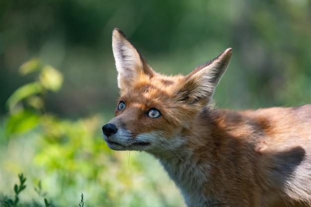 Red fox vulpes vulpes, szczegół portret z bokeh drzew w tle.