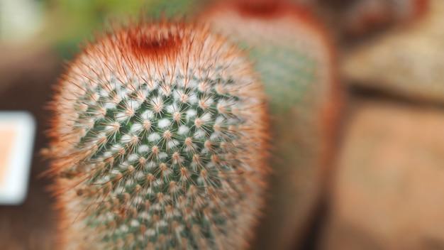 Red headed irishman. mammillaria spinosissima. cactaceae meksyk.