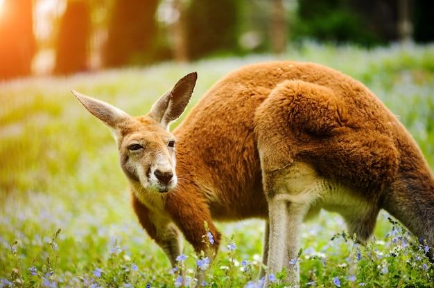 Red kangaroo stojąc na zielonej trawie, wiosna