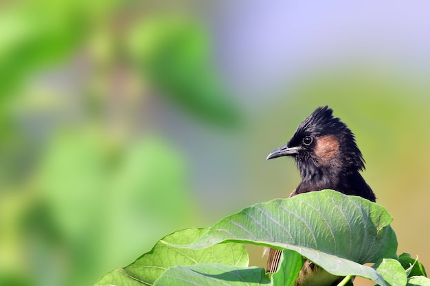 Red vented bulbul na drzewie.