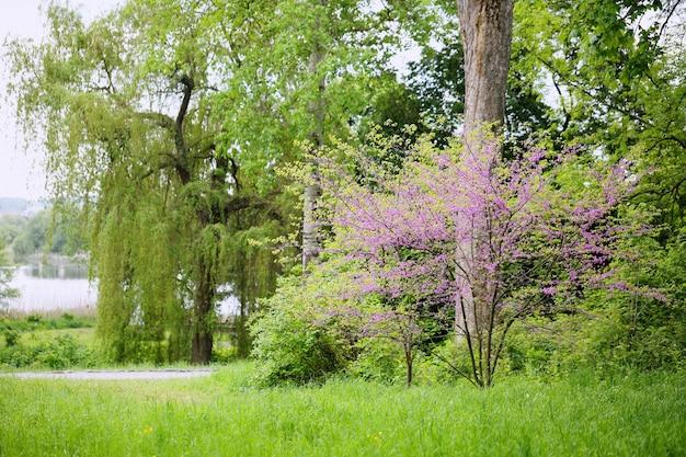 Redbud drzewo. wiosenne kwitnienie z małymi kwiatami bzu