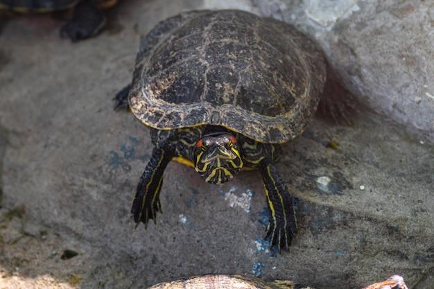 Redeared suwak lub żółw wodny