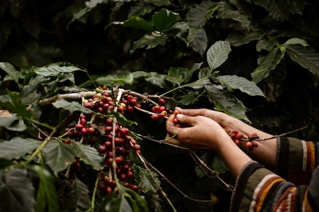 Ręka azjatykciej kobiety żniwa arabica średniorolna czereśniowa kawa w kawy gospodarstwie rolnym przy zakazem ssanie w żołądku khon północnym chiang raja, tajlandia.